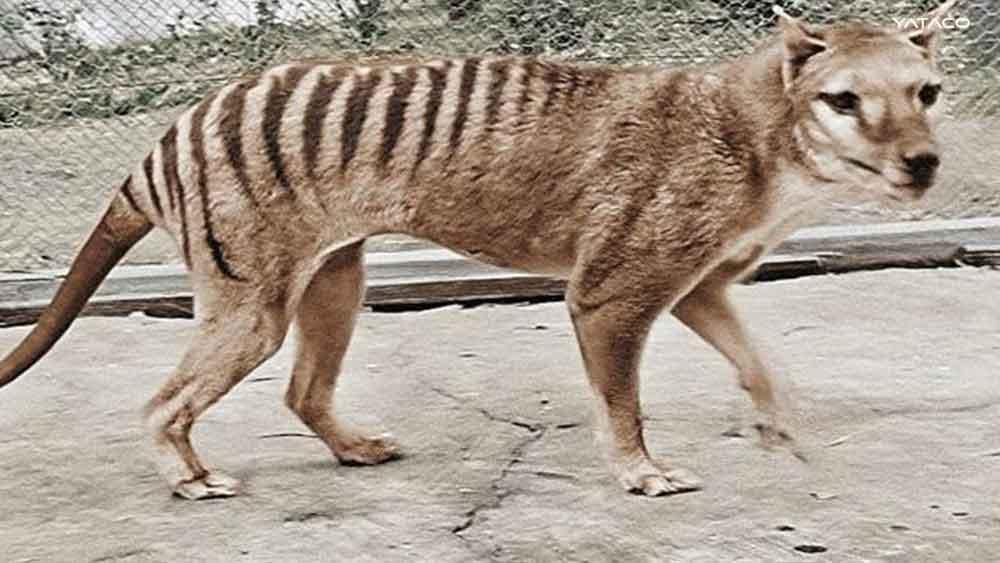 El vídeo del último Tigre de Tasmania